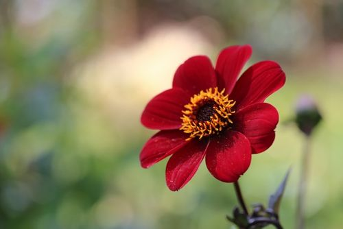 Dahlias: Dazzling late summer colour; wonderful flowers for cutting