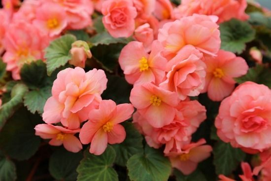 6 Begonia Sweet Spice English Rose