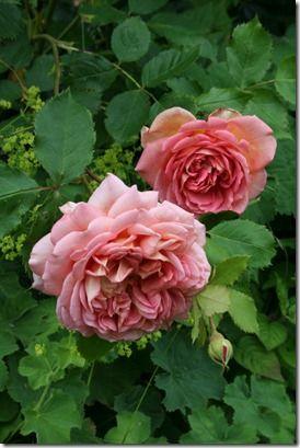 Rosa 'jbilee Celebration 09