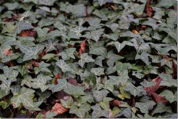 3 Hedera as ground cover (1024x683)