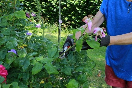 4 Summer pruning (1280x853)