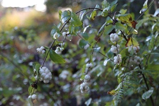 7 Snowberry (1280x853)
