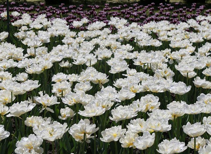 3 Tulipa 'Mount Tacoma' (1024x752)