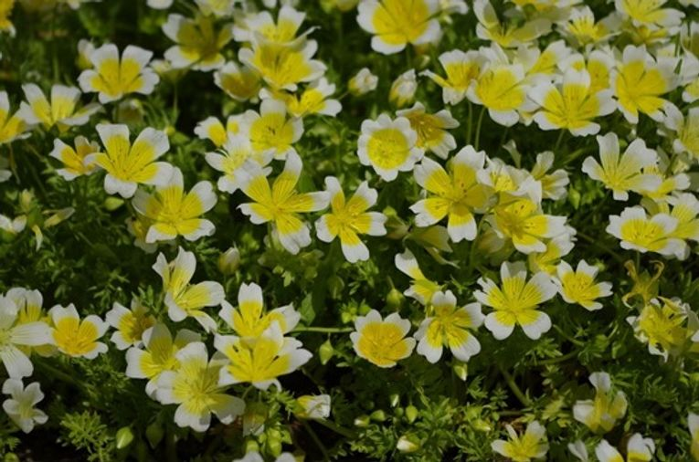 4 Limnanthes douglasii
