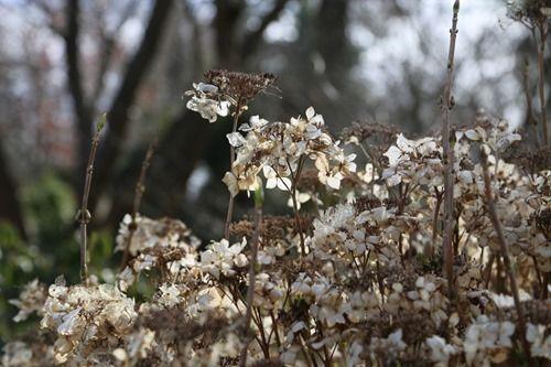 8 Hydrangea 'Lanarth White' (1280x853)