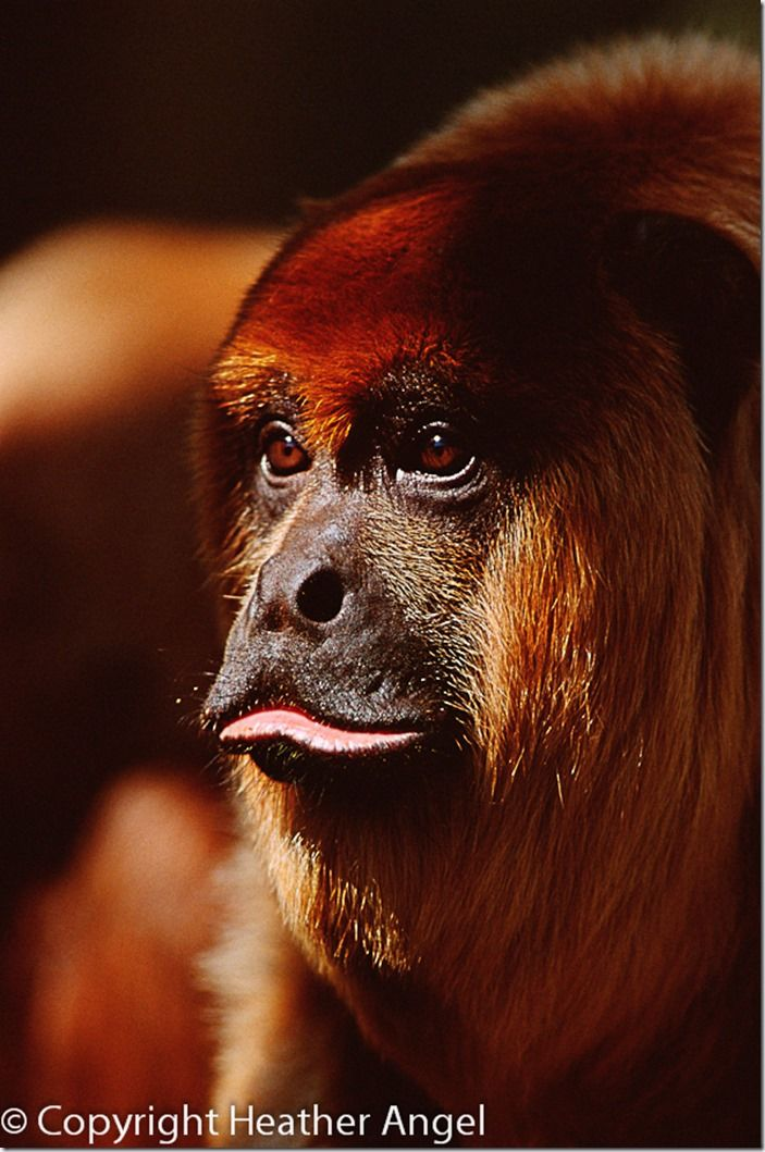Portrait of male red howler