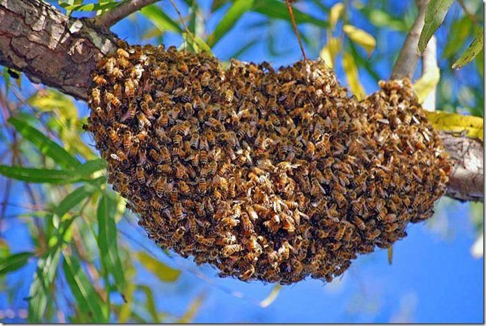 7 Honet Bee Swarm