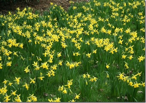 5 Narcissus 'February Gold' at Kew