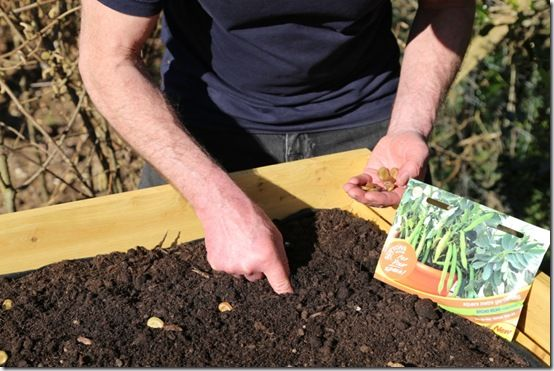 Sowing Broad Bean 'Robin Hood'