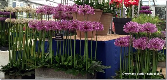 Alliums Chelsea Flower Show 2014
