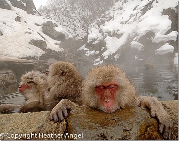 Snow monkeys relaxing in hot pool, Scene mode, In-Camera, techniques, Picture modes, In-camera HDR, converging verticals, Image stabilisation, Online, Photography, Class, Course, Courses.