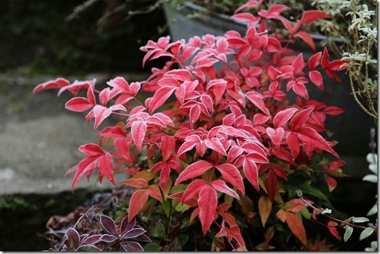 5 Nandina domestica 'Obsessed' Shrubs For Winter Interest