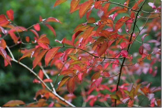 10. Euonymus europaeus 'Red Cascade'