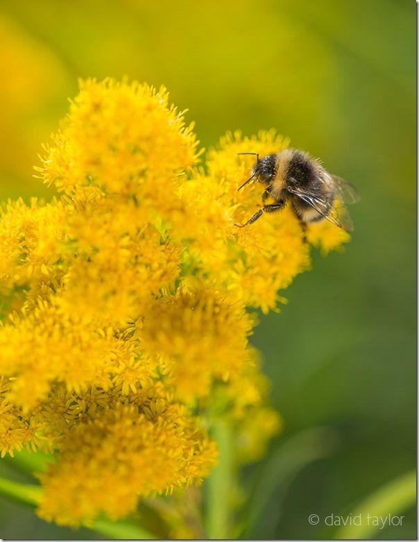 White-tailed bumblebee exploring a Goldenrod plant  on a roadside verge overlooking Billsmoor Park near Elsdon, Northumberland, England