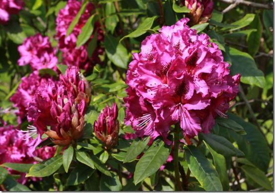 Rhododendron 'Colonel Coen'