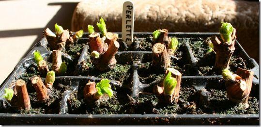 Hardwood cuttings, leaf bud cuttings, Leaf cuttings, Pipings, Propagation, Root Cuttings, Semi Ripe Cuttings, Softwood cuttings, taking cuttings, vegetative propagation, eye cuttings, grape vine,