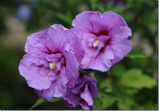 Hibisus 'Lavender Chiffon'