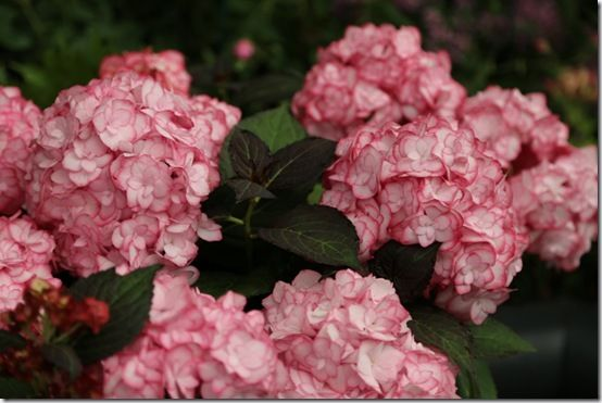 4 Hydrangea 'Miss Saouri'
