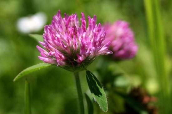 9 Red Clover