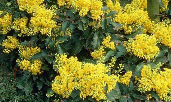 Mahonia aquifoium 'Apollo'