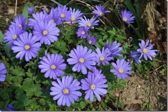 Anemone blanda 'Blue