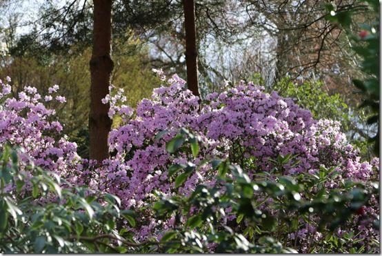 Rhododendron amethistinum