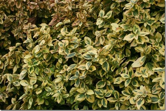 Euonymus 'Emerald 'n' Gold'