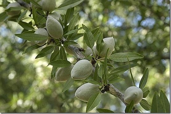 almond, Fruit Tree Specification & Rootstocks Guide