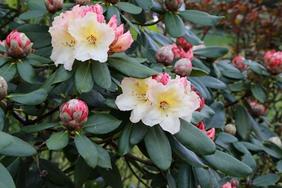 8 Rhododendrons need an ericaceous fertiliser