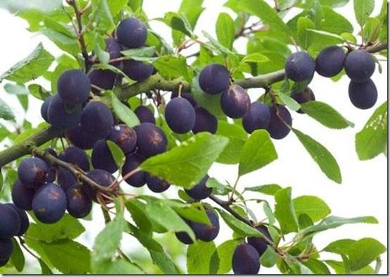 damson, Fruit Tree Specification & Rootstocks Guide