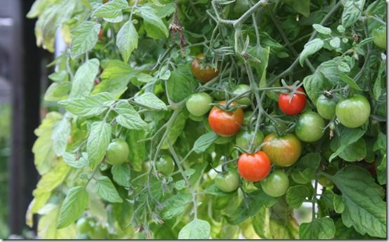 Tumbler tomatoes