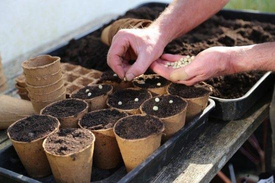 3 Sowing peas