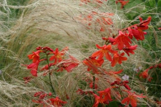 Crocosmia and Stipa