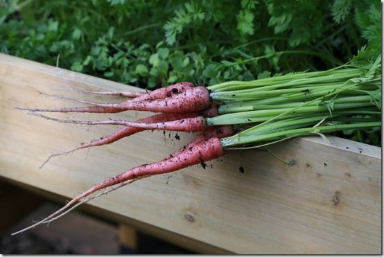 1 Long-rooted carrots