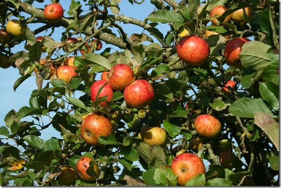 Apples, Fruit Tree Specification & Rootstocks Guide