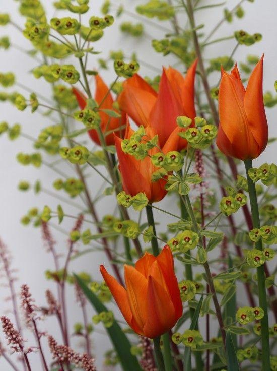 Tulipa 'Ballerina