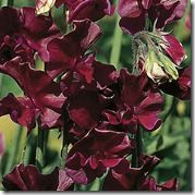 133363_Sweetpea_beaujolais_exp