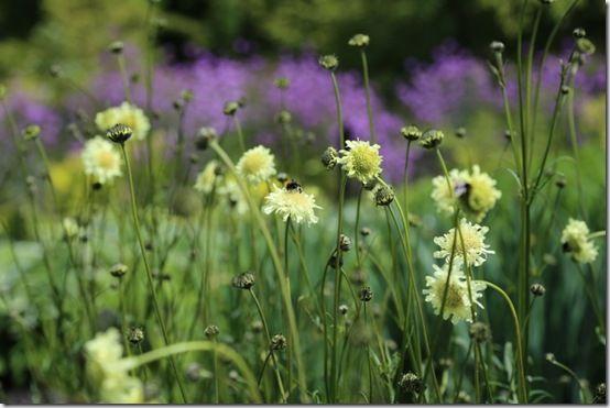 7 Cephelaria gigantea