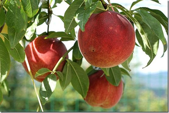 peaches, Fruit Tree Specification & Rootstocks Guide