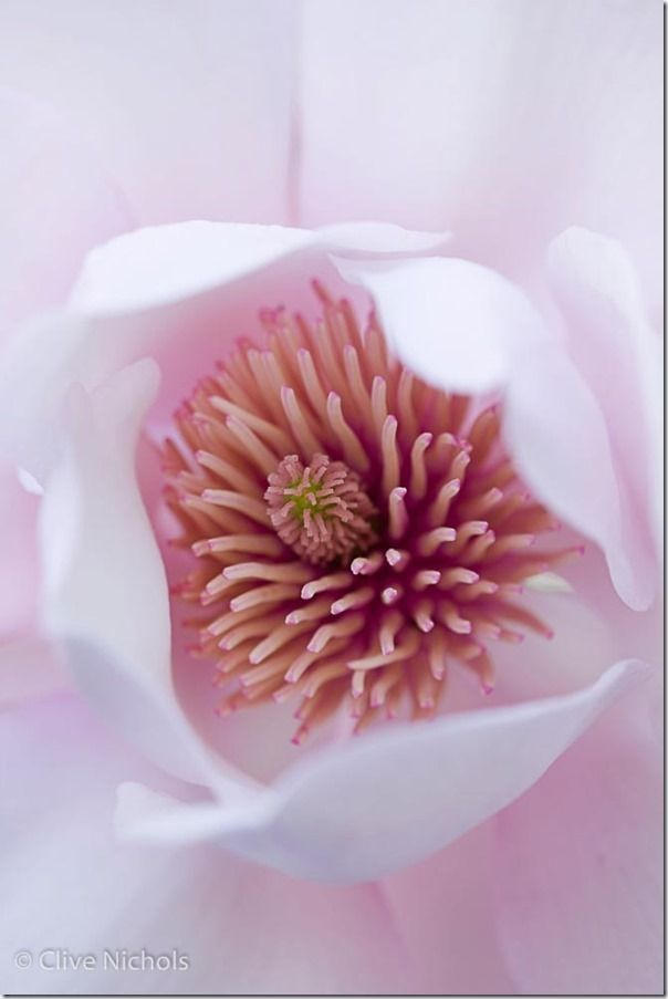 Magnolia, macro, close-up