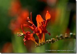 Crocosmia at Merton College Oxford (2)