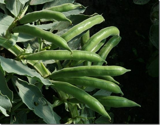 Broad beans ready for picking