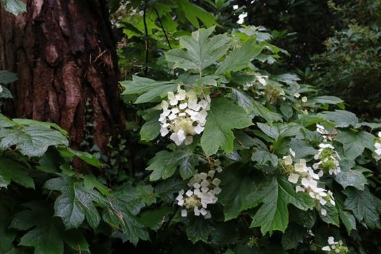 3 Hydrangea quercifolia
