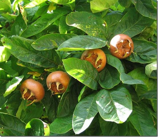 Mespilus, Fruit Tree Specification & Rootstocks Guide