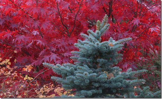 5. Picea pungens 'Globosa'