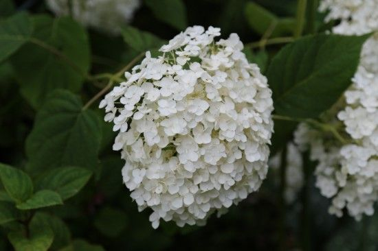 6 Hydrangea arborescens Incrediball (800x533)