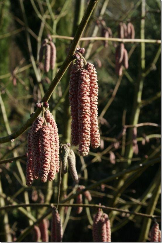 Corylus avellana 'Purpurea' catkins
