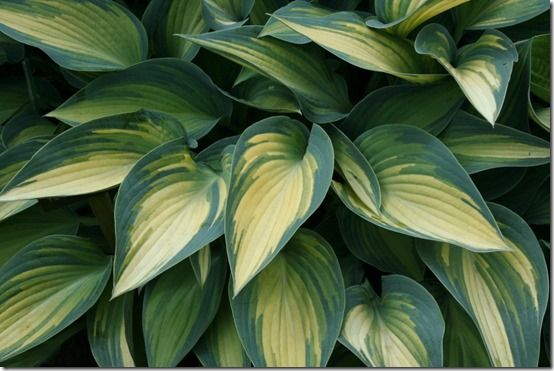 Hosta 'June' landscape