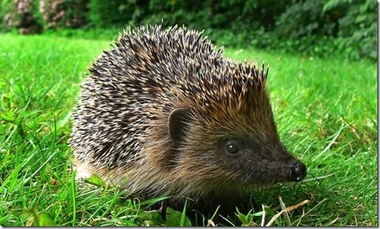 Hedgehog, Organic Slugs & Snails Control