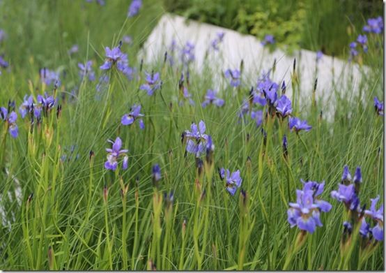 10 Iris sibirica 'Flight of Butterflies'